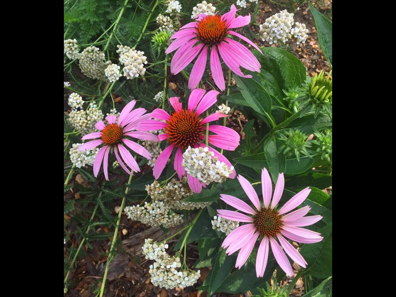 03 cone flowers and yarrow in pollinator garden